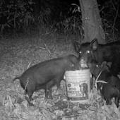 Hog Cheese
