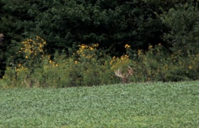 Annuals in Deer Management