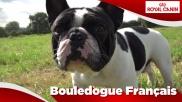 Bouledogue Français Sensibilities
