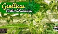 Hablamos de la Critical Exclusive y de cómo conseguir más ramas en tus plantas de marihuana