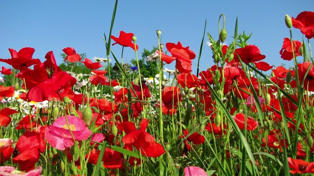 Red poppy seeds papaver rhoeas american meadows mightylinksfo