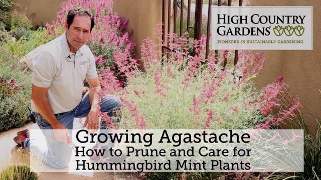 Apricot Sprite Hummingbird Mint Agastache Aurantiaca High Country Gardens