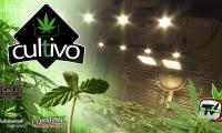 Cultivo de marihuana con LED en la fase de crecimiento