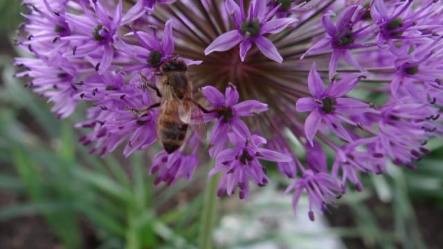 Gladiator Allium American Meadows