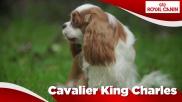 Cavalier King Charles Sensibilities