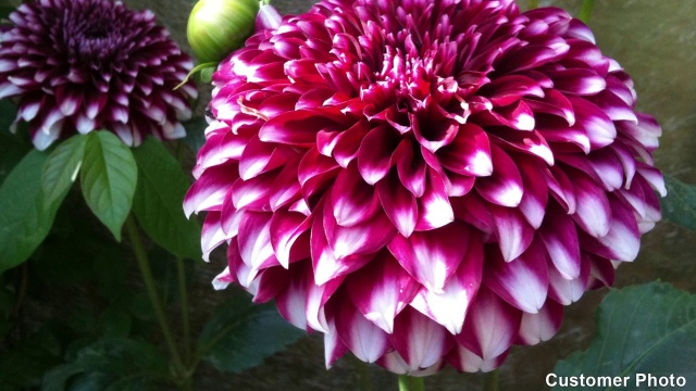 Dahlia happy single party
