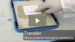 Transfer proteins from a gel to PVDF or nitrocellulose membrane for Western blot