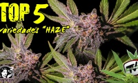 Top 5 mejores variedades tipo Haze