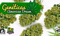 Os hablamos sobre una variedad de marihuana espectacular, la American Dream