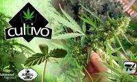 Últimos pasos y cosecha de un cultivo de plantas autoflorecientes de marihuana de exterior
