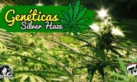 Todo sobre la Silver Haze, variedades de marihuana