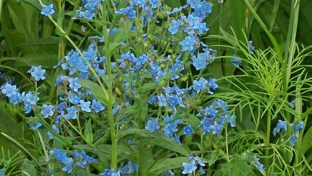 Chinese Forget Me Not Seeds Cynoglossum American Meadows