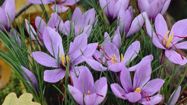 Saffron Crocus Crocus Sativus American Meadows