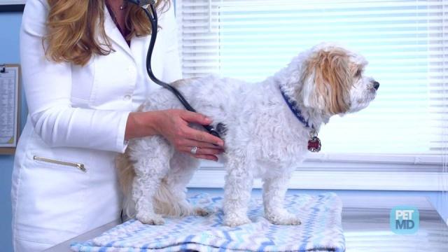 Heart Murmurs In Dogs Petmd