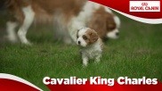 Cavalier King Charles Junior Sensibilities