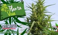 Visitamos un campo de cannabis rico en CBD