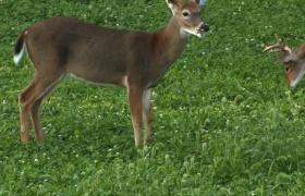 Perennials in Deer Management
