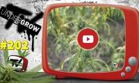UNDERGROW TV #202 Expoweed México, Cultivo de cáñamo, top 5 Exclusive seeds, Cáñamo agosto