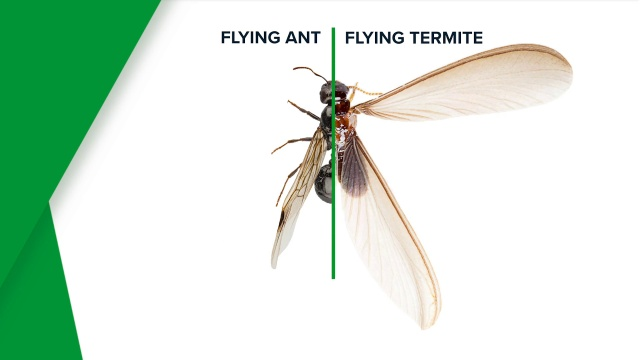 Flying Termites And Termite Swarmers Western Exterminator