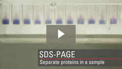 Separate proteins in a sample by SDS-PAGE