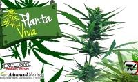 Cultivo de plantas de marihuana automáticas de exterior en fase de floración