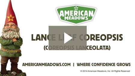 ll_coreopsis
