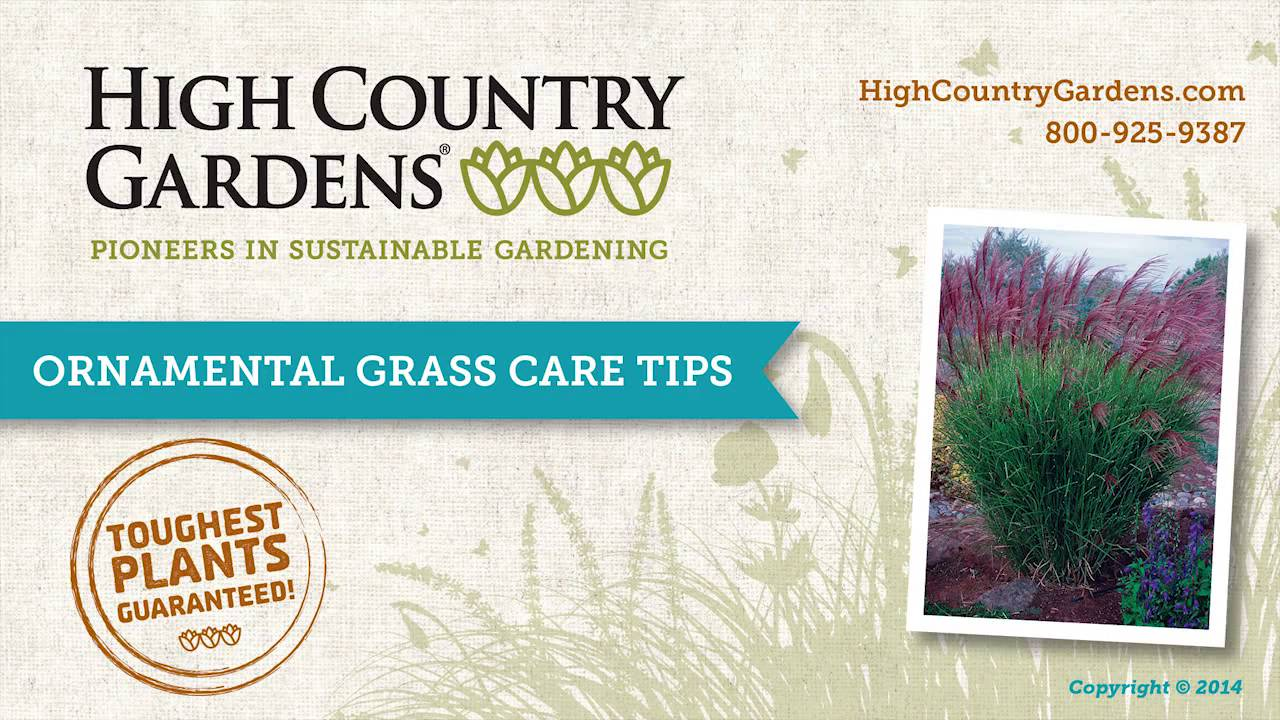Maiden Hair Grass | Miscanthus Sinensis Gracillimus | High Country Gardens
