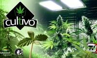 Últimas semanas de la fase de floración de un cultivo de marihuana con LEDS