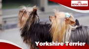 Yorkshire Terrier Sensibilities